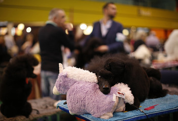 A Standard Poodle rests with its stuffed toy during the last day of the Crufts Dog Show in Birmingham