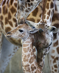 A female Rothschild giraffe, named Sandy Hope, is groomed by its mother and another female giraffe at the LEO Zoological Conservation Center in Greenwich, Connecticut
