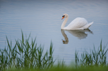 Beautiful white swan floating in the lake