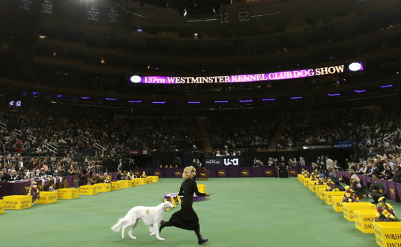 A dog runs with a handler during competition in the Hound group judging at the 137th Westminster Kennel Club Dog Show n New York