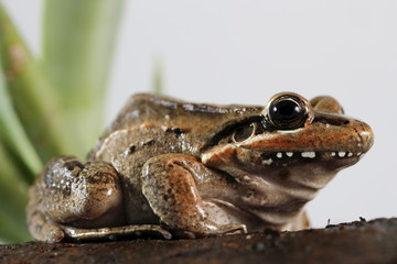 A Leptodactylus fuscus frog is pictured at a terrarium in Caracas