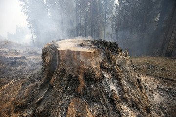 A smoldering tree stump burned by the King Fire is seen in Fresh Pond northeast of Sacramento, California