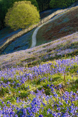 Rural path leading through bluebell carpets in the Lake District on a spring morning.