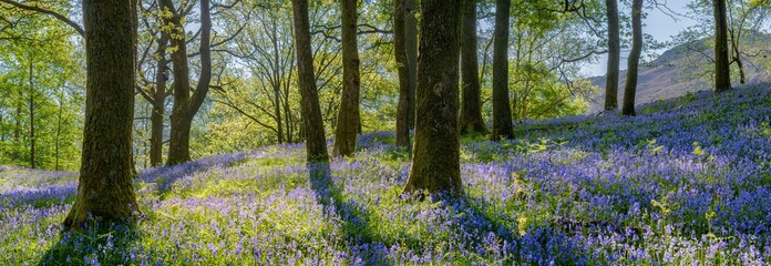 Papiers peints Forets Beautiful spring panorama in a woodland forest with Bluebell carpet in foreground.