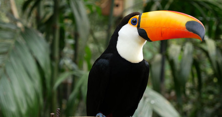 Toucan bird on the forest