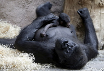 Shinda, a western lowland gorilla, holds her newborn baby in its enclosure at Prague Zoo