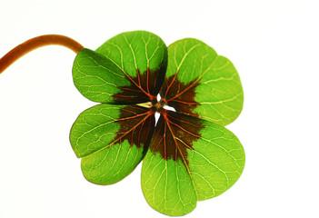 Vierblättriges Kleeblatt auf weissem Hintergrund,Glücksbringer