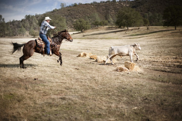 Man wearing a cowboy hat and riding a horse lassoes a calf as it runs across a dy paddock.