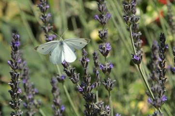 Una farfalla su fiore di lavanda