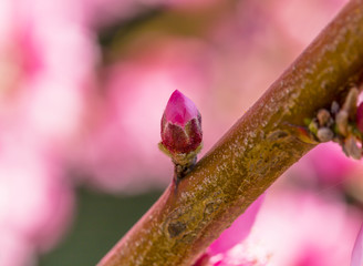 macro photo of pink beautiful peach blossoms