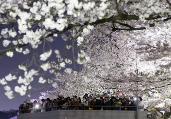 Visitors take pictures of illuminated cherry blossoms in full bloom along the Chidorigafuchi Moat in Tokyo