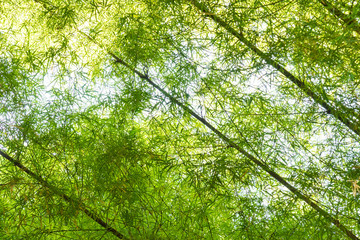 Young green bamboo forest background