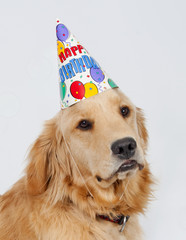 Golden Retriever Birthday Puppy