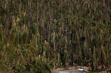 A car drives on a hillside near coconut trees felled by Typhoon Haiyan, between the district of Capoocan and Kananga in Leyte province