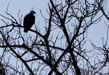 An American Bald Eagle perches on a branch above the Hudson River at Kingston Point in Kingston