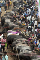 Villagers participate in a bull-taming festival on the outskirts of Madurai town