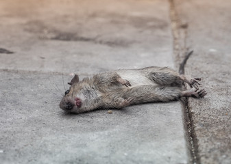 Dead rat death on the sidewalk. Selective focus