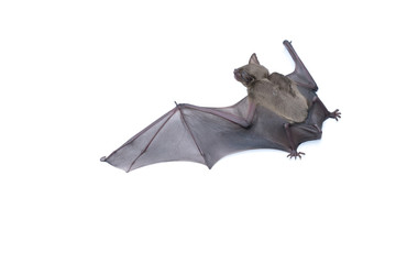 Bat spread the wings in side view on white background,  close up studio shot with copy space.