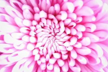 Foto op Canvas Macrofotografie Pink Chrysanthemum Flower
