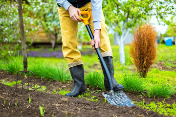 Mature gardener is digging soil with a shovel at spring green outdoors background.