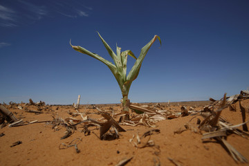 File photo of a maize plant seen among other dried maize at a field in Hoopstad
