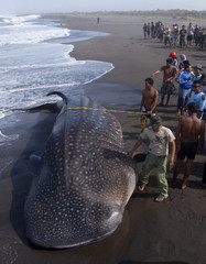 Villagers watch as a rescue team drags a whale shark, which died after being stranded on the Parangkusumo beach, near Yogyakarta