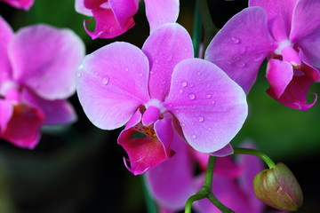 Orchids, Beautiful Orchids, Orchids from Thailand.