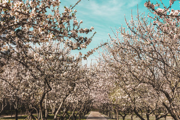 Grove of almond trees in bloom in Spain
