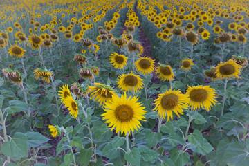Full bloom sunflower field plantation, selectived focuse