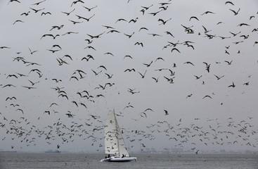 Seagulls flying near a sailboat are seen from San Lorenzo island in Callao