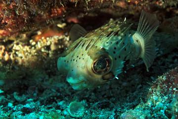 Long-Spine Porcupinefish (Diodon Holacanthus – aka Longspined Porcupinefish, Freckled Porcupinefish). Coiba, Panama