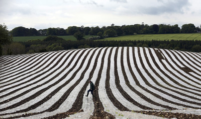 A man walks through a field of maize, planted under a film of biodegradable plastic which raises the soil temperature at the start of the season, near the city of Londonderry