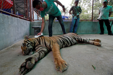 A veterinarian from a wildlife protection department scans a microchip of a tiger to collect wildlife data in a bid to tackle illegal wildlife trade at the Sriracha Tiger Zoo, in Chonburi province