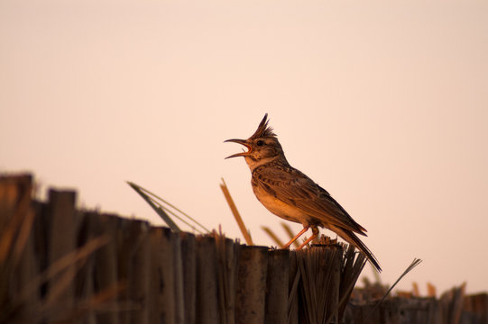 crested lark singing perched on fence of palm leafes