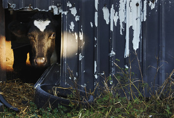 A Friesian Holstein cow looks out through a hole in a barn wall before before being milked at Longleys Farm in Hailsham