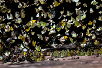 A variety of butterflies fly together in flock it is beautiful natural colors.