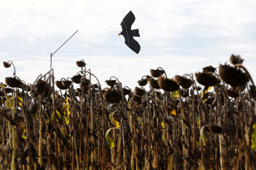 The silhouette of a mock bird, used as a scarecrow, is seen in a field of sunflowers in Montbert