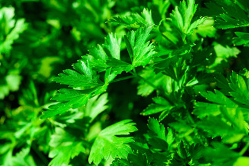 Fresh parsley growing in garden