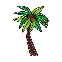 tropical tree palm with coconuts vector illustration design