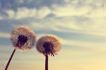 Call of heaven/ Two lush dandelions against the sky at sunset in the spring