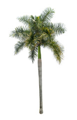 Palm bottle tree isolated on white background for decorative