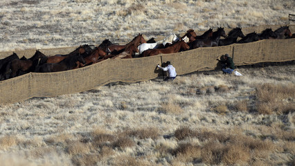 Wild horses run as they are gathered in the West Desert of Utah, outside Tooele