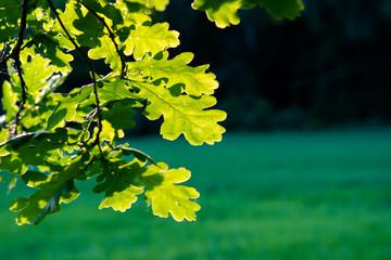 Sonnige Eichen Blätter