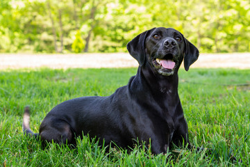Black Labrador Posing for the Camera