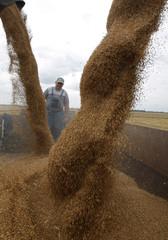Farmers harvest wheat at a field near Cegled