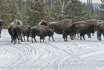 Bison & Snowmobiles, Winter, Yellowstone NP