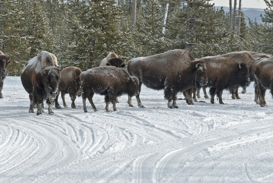 Bison & Snowmobiles, Winter, Yellowstone NP