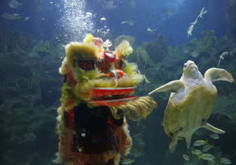A turtle swims past divers performing the lion dance at the KLCC Aquaria on Chinese New Year in Kuala Lumpur