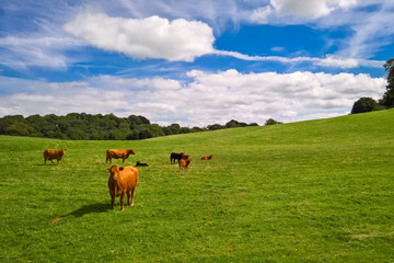 Cows and calves in field