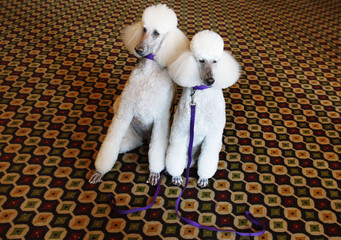 Standard Poodle show dogs Mikimoto and Gem sit during a preview press conference for the 135th Westminster Kennel Club Dog Show in New York